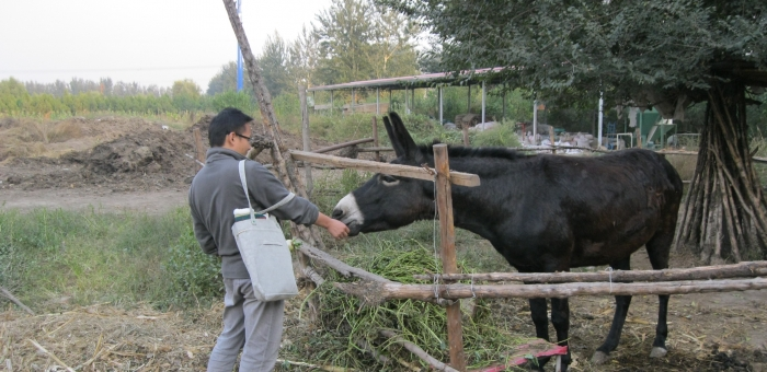 Cheng feeds the Little Donkey_